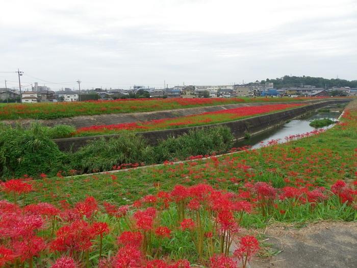アゲハと矢勝川の彼岸花_d0254540_13165174.jpg