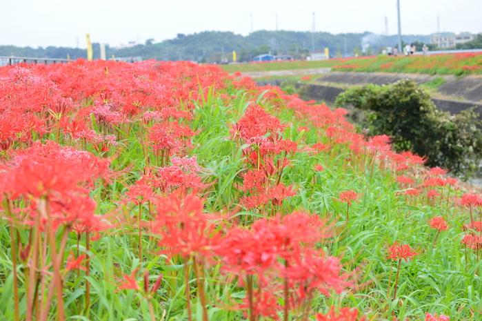 アゲハと矢勝川の彼岸花_d0254540_13174778.jpg