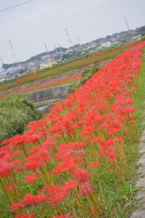 アゲハと矢勝川の彼岸花_d0254540_1318992.jpg