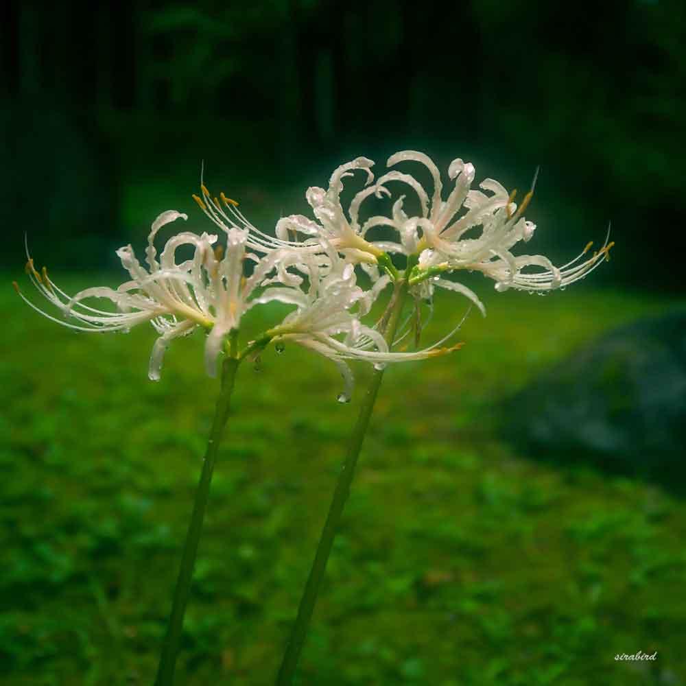 雨の彼岸花①(熊本市)_d0238245_12090578.jpg