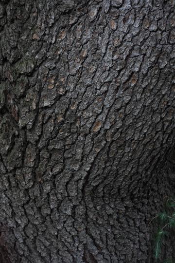 谷中のヒマラヤ杉 二ヶ月ぶりの谷中はまたも雨_f0117059_23474022.jpg