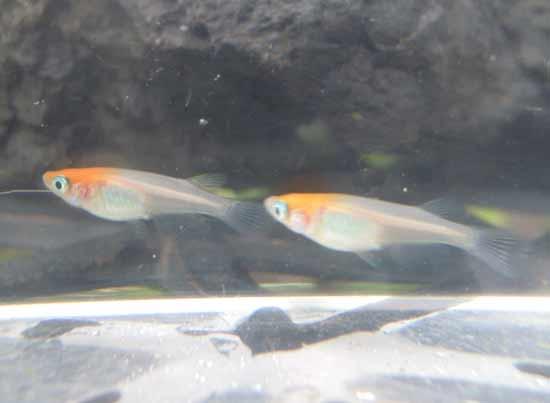 非透明鱗紅白・2度目の採卵の個体_e0097534_18535676.jpg