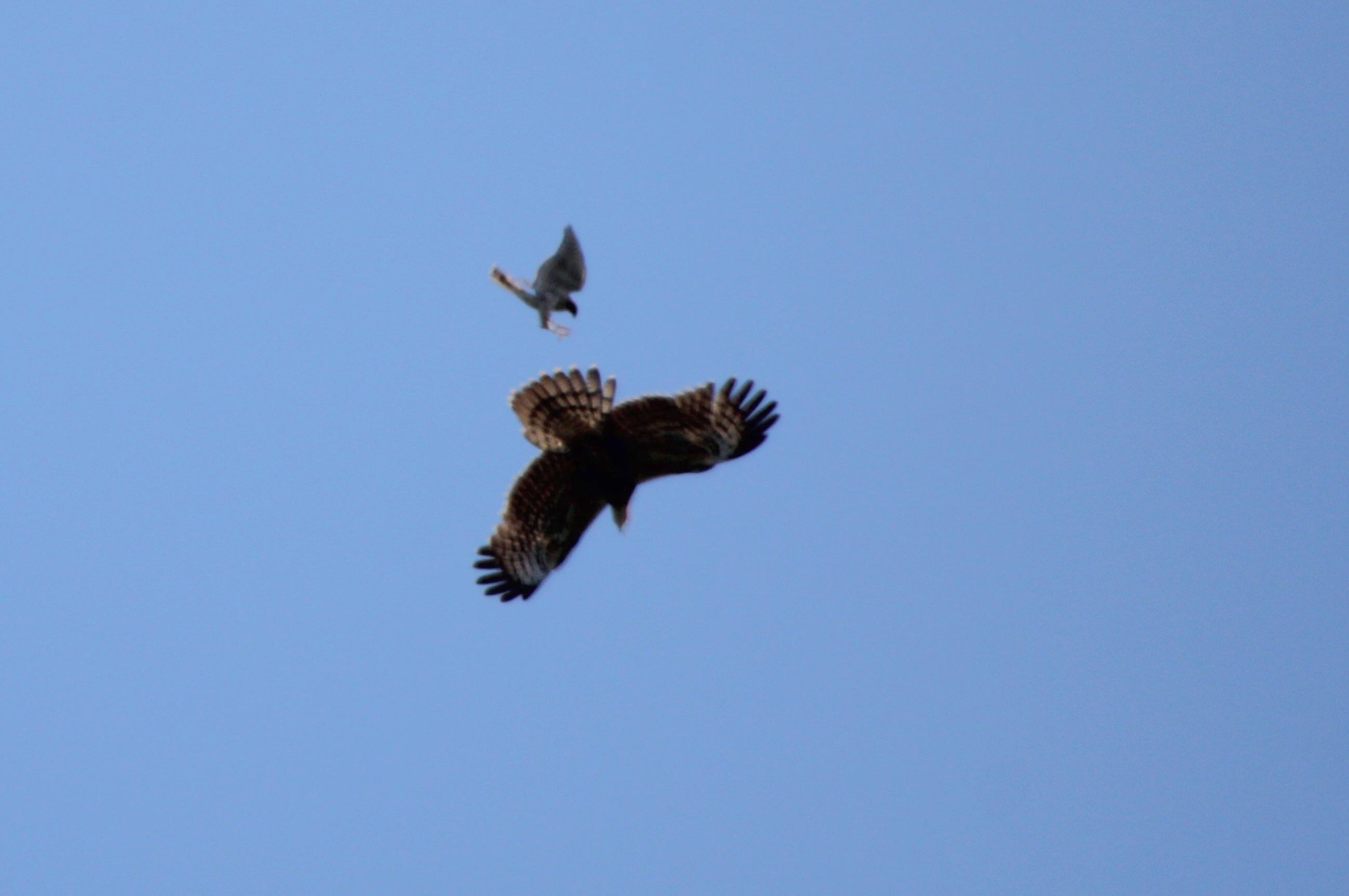 2014.9.22 鷹の渡り前哨戦・矢倉岳・ハチクマ、サシバ、ノスリ_c0269342_01272694.jpg