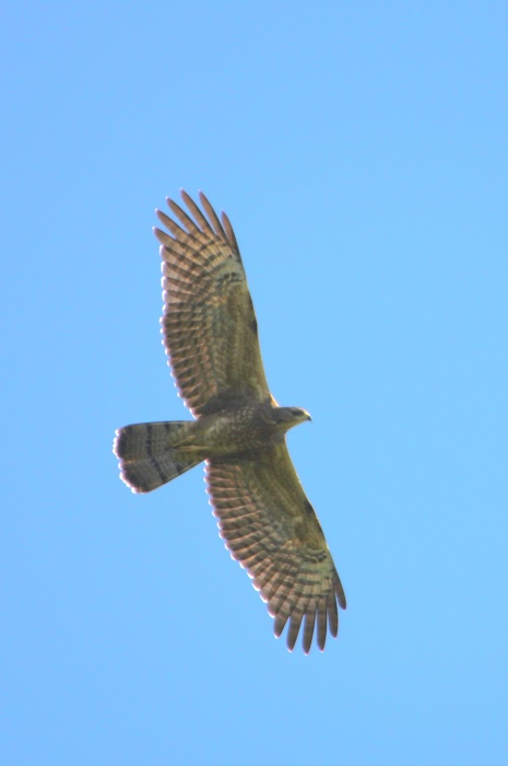 2014.9.22 鷹の渡り前哨戦・矢倉岳・ハチクマ、サシバ、ノスリ_c0269342_18543002.jpg