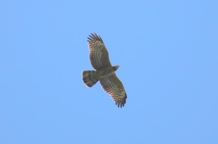 2014.9.22 鷹の渡り前哨戦・矢倉岳・ハチクマ、サシバ、ノスリ_c0269342_18551353.jpg
