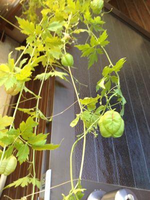 薔薇のグリーンカーテン_e0086864_0462514.jpg