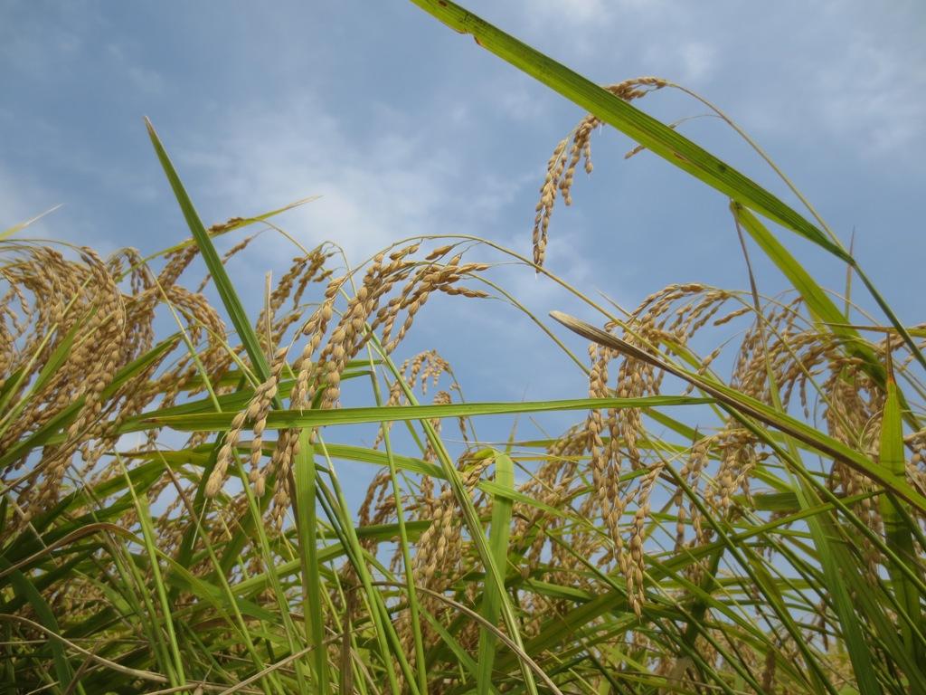 椿農場の稲刈り_c0310571_21174550.jpg