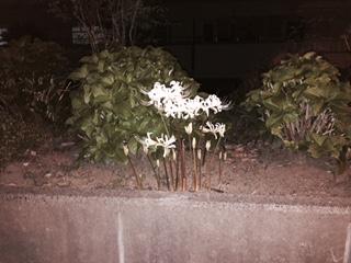 白いマンジュシャゲ_f0052181_20413156.jpg