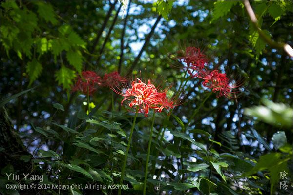 彼岸花と鳥居、神奈川_e0139738_12403738.jpg