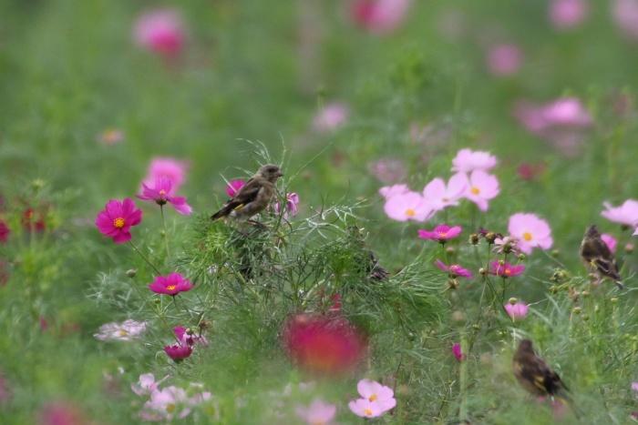 2014.9.24 待鳥来らず・馬入ふれあい公園・カワラヒワ_c0269342_20311195.jpg