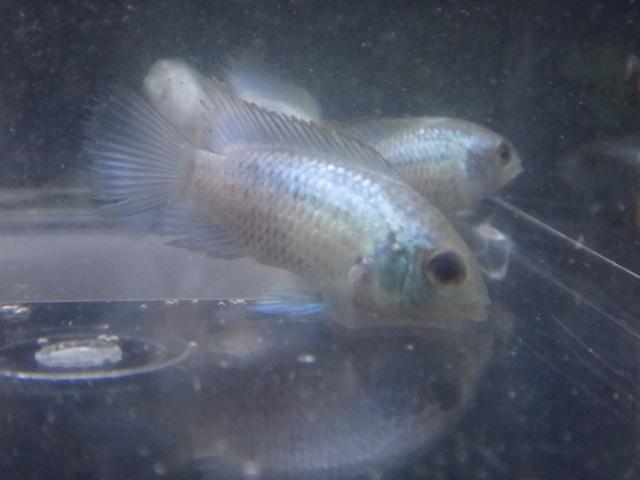 140925 熱帯魚・水草_f0189122_1361247.jpg