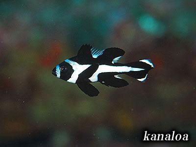 もっと撮りたい!幼魚はやっぱり可愛いなあ・・・(^.^)_b0189640_1783756.jpg