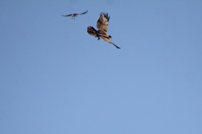 2014.9.22 鷹の渡り前哨戦・矢倉岳・ハチクマ、サシバ、ノスリ_c0269342_16560804.jpg