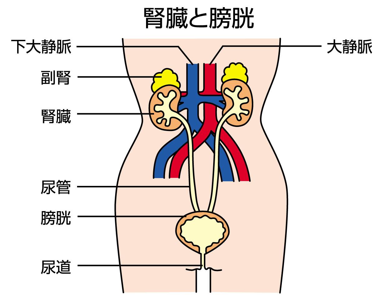 糖尿病と膀胱炎 Q&A_a0136788_15241016.jpg