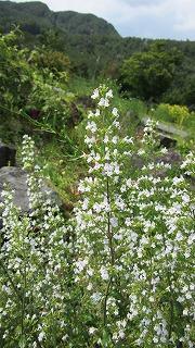 ロックガーデンの花たち27_b0219993_16525117.jpg