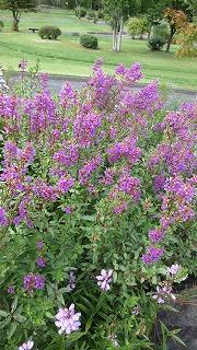 ロックガーデンの花たち27_b0219993_16533318.jpg