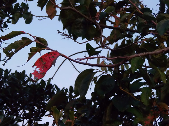 「金木犀」の香りに 包まれて。_a0125419_06412363.jpg