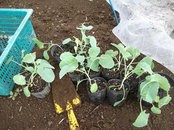 まだ植えています...ブロッコリー&レタス_b0137932_16474770.jpg