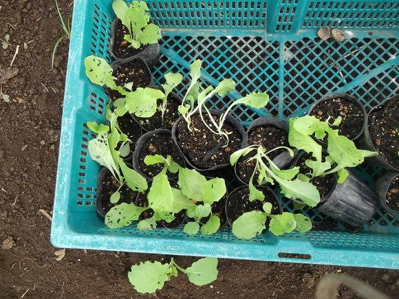 まだ植えています...ブロッコリー&レタス_b0137932_16484211.jpg
