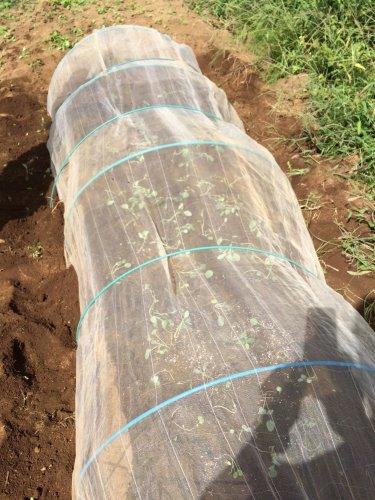 今朝は 最後の芽キャベツ&カリフラワーの仲間 ロマネスコの定植です_c0222448_14340121.jpg