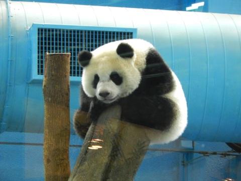 2014年8月香港&台北旅行⑭ 台北市動物園でパンダの圓仔に会う_e0052736_16101006.jpg