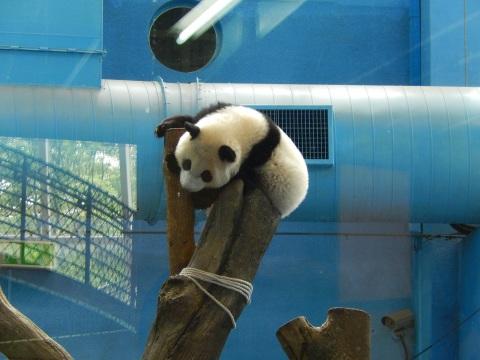 2014年8月香港&台北旅行⑭ 台北市動物園でパンダの圓仔に会う_e0052736_16103389.jpg