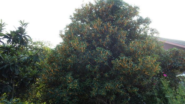 大きな金木犀が2本☆_f0183846_1725054.jpg