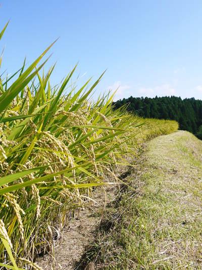 菊池水源棚田米 清らかな水と元気な土で育てた美味い米!まもなく稲刈りです!!_a0254656_17364625.jpg