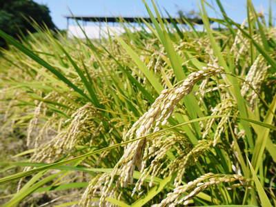 菊池水源棚田米 清らかな水と元気な土で育てた美味い米!まもなく稲刈りです!!_a0254656_17414979.jpg