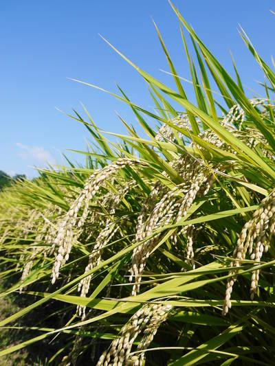 菊池水源棚田米 清らかな水と元気な土で育てた美味い米!まもなく稲刈りです!!_a0254656_18101577.jpg