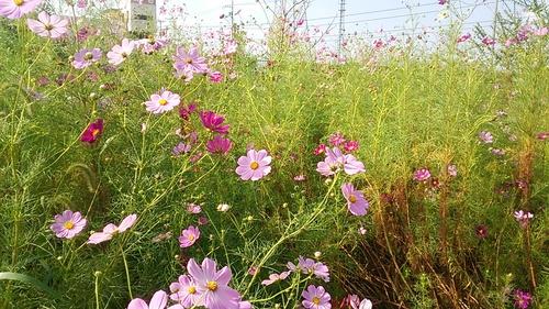 コスモスが綺麗に咲きました~_e0064493_1826480.jpg