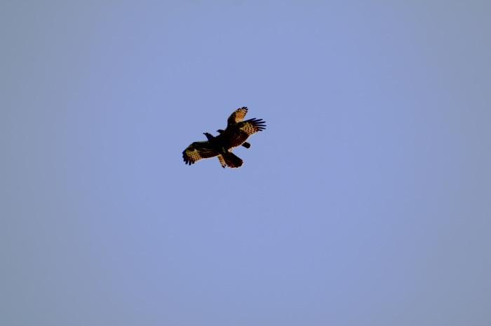2014.9.28 秋空に舞う・矢倉岳・サシバ、ハチクマ、ノスリ、ハヤブサ_c0269342_08023523.jpg