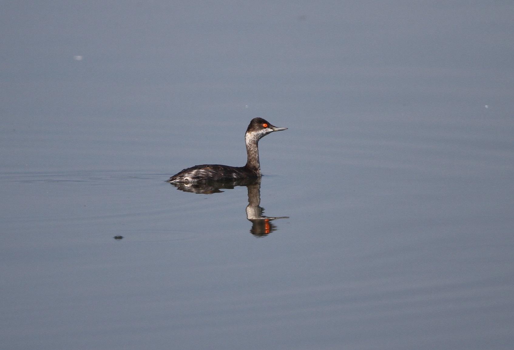 ハジロカイツブリをMFの沼で_f0239515_219646.jpg