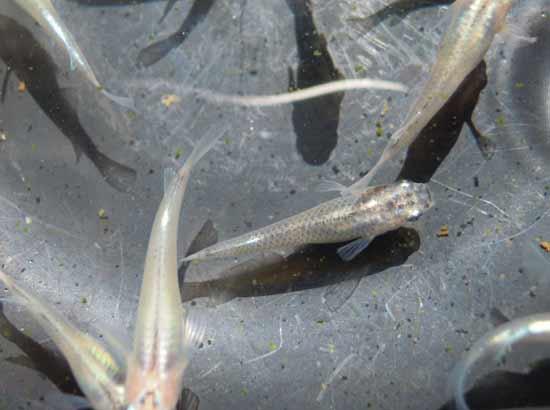 黄オーロラ幹之の若魚のその後_e0097534_14393463.jpg