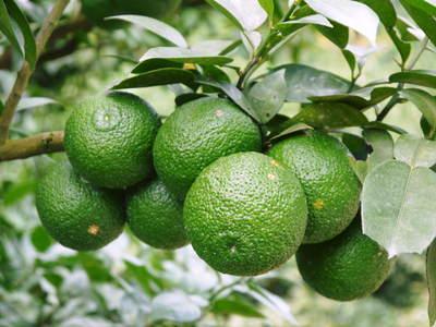 香り高き柚子(ゆず) 今年は柚子の裏年?でも、匠は今年もきちんと育てあげるんです_a0254656_18483755.jpg