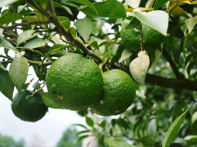 香り高き柚子(ゆず) 今年は柚子の裏年?でも、匠は今年もきちんと育てあげるんです_a0254656_18562279.jpg