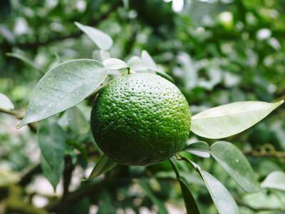 香り高き柚子(ゆず) 今年は柚子の裏年?でも、匠は今年もきちんと育てあげるんです_a0254656_19252414.jpg