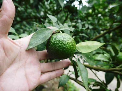香り高き柚子(ゆず) 今年は柚子の裏年?でも、匠は今年もきちんと育てあげるんです_a0254656_1928576.jpg