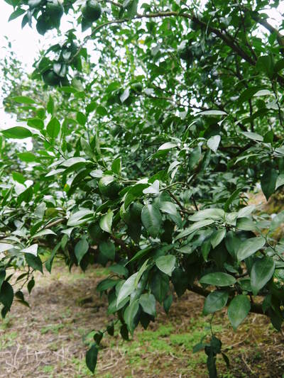 香り高き柚子(ゆず) 今年は柚子の裏年?でも、匠は今年もきちんと育てあげるんです_a0254656_19314741.jpg