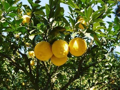 香り高き柚子(ゆず) 今年は柚子の裏年?でも、匠は今年もきちんと育てあげるんです_a0254656_1950288.jpg