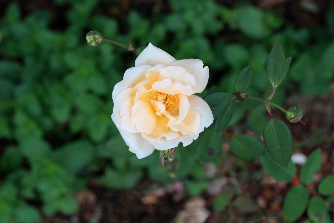 10月初旬の庭の薔薇たち_a0107574_16042793.jpg