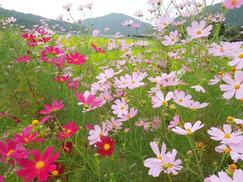 秋風とコスモス_c0177995_19402724.jpg