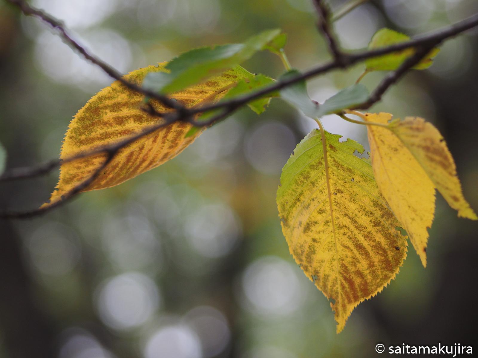 2014年10月1日 桜とタンポポ_f0108797_14561196.jpg