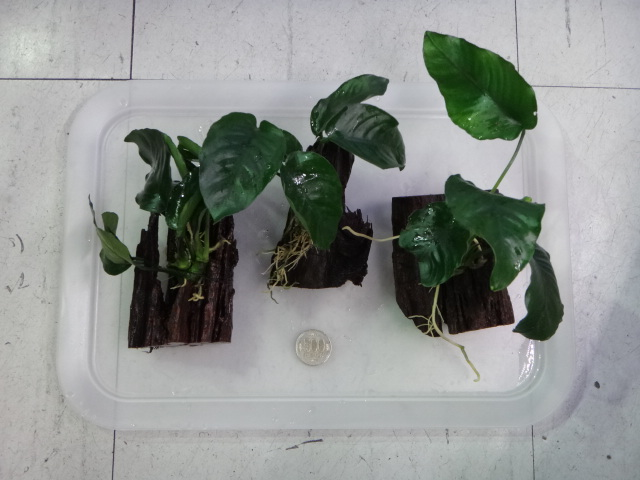 141002 熱帯魚・金魚・水草・観葉植物_f0189122_13172311.jpg