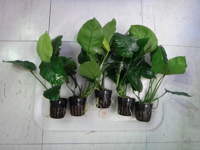 141002 熱帯魚・金魚・水草・観葉植物_f0189122_1317250.jpg