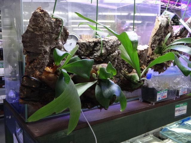 141002 熱帯魚・金魚・水草・観葉植物_f0189122_13192330.jpg