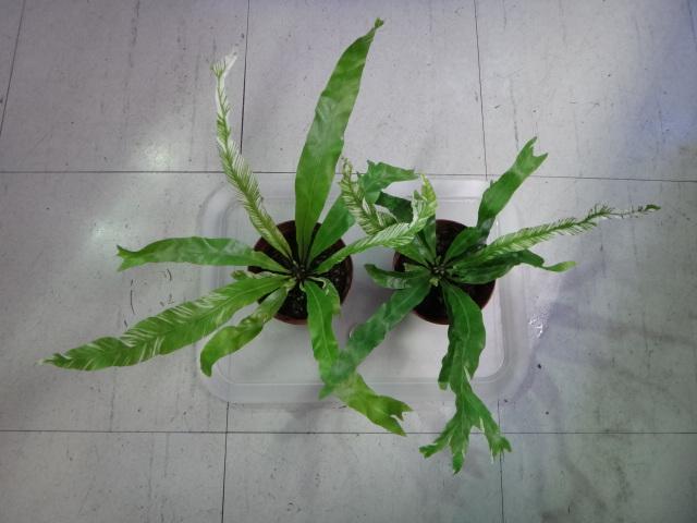 141002 熱帯魚・金魚・水草・観葉植物_f0189122_1322297.jpg