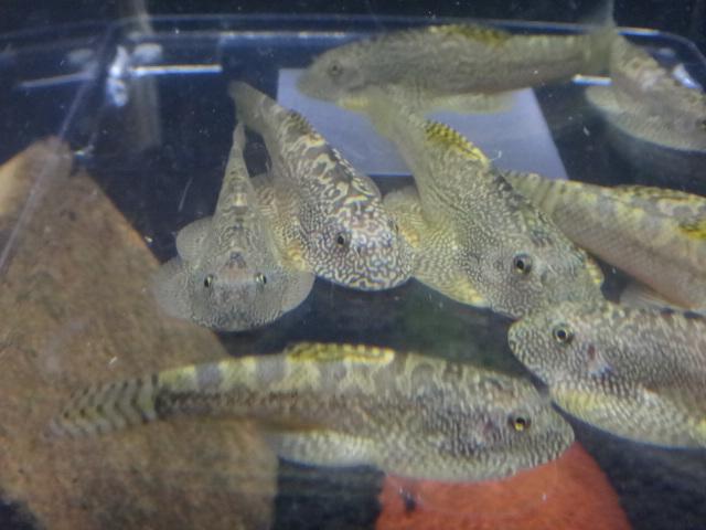141002 熱帯魚・金魚・水草・観葉植物_f0189122_1353982.jpg