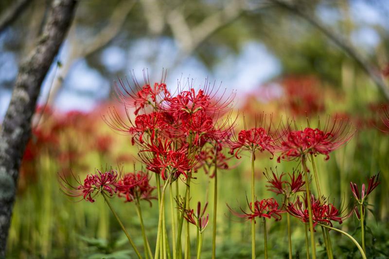 今年も みろく公園の 彼岸花を少し_d0246136_21203416.jpg