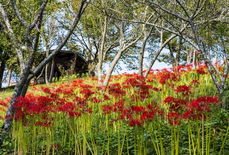 今年も みろく公園の 彼岸花を少し_d0246136_21211455.jpg
